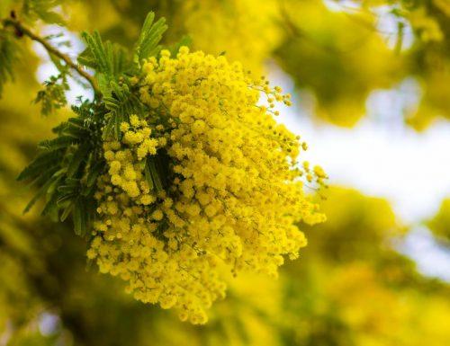 Mimosa nei cosmetici: proprietà e benefici per la pelle